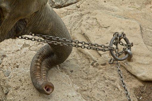Tied, Sad, Poor, Elephant, Africa, Elephants, Zoo