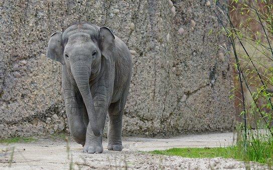 Elephant, Asian Elephant, Young Animal, Pachyderm