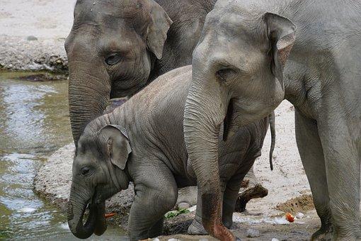 Elephant, Asian Elephants, Young Animal, Water Hole