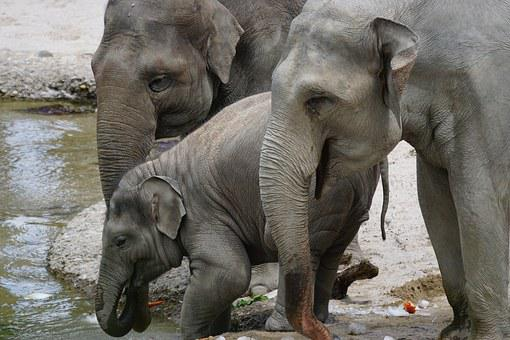 Elephant, Asian Elephants, Young Animal, Water Hole