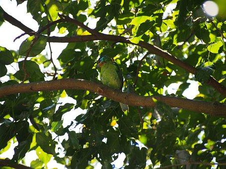 Quasi Woodpecker, Colored Birds, Monk, Muller's Barbet