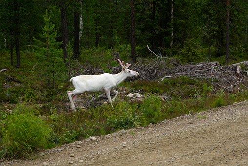 Finland, Deer, Reindeer, Forest