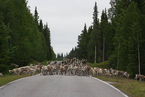 Reindeer, Road, Horse-sleigh