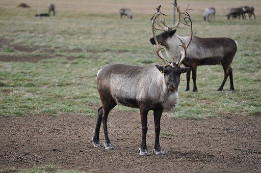 Caribou, Reindeer, Animals, Wildlife, Nature, Wild
