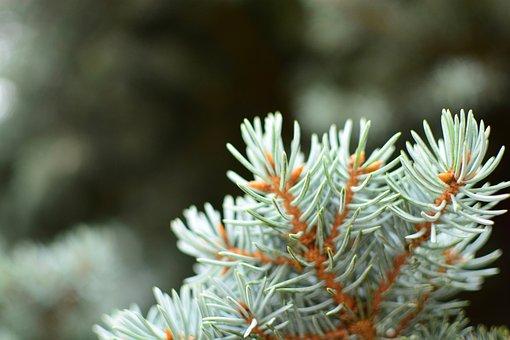 Branch, Close-up, Color, Conifer, Coniferous
