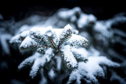 Blur, Branch, Christmas, Cold, Conifer, Evergreen, Fir