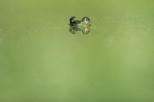 Animal, Beady Eyed, Blur, Ecology, Eyes, Frog, Green