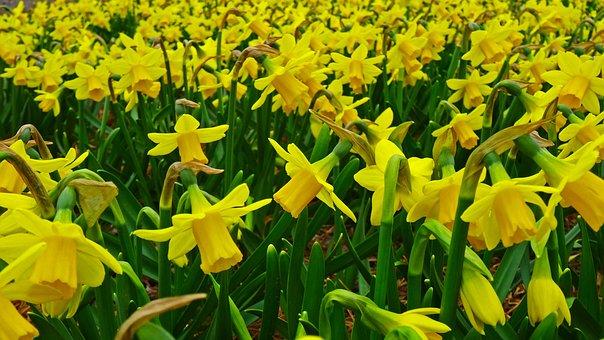 Daffodil, Narcissus, Field, Plantation, Cultivation