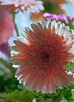 Gerbera, Flower, Plant, Flora, Nature, Cut Flower