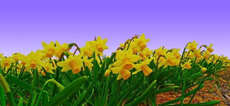 Narcissus, Field, Daffodil, Plantation, Cultivation