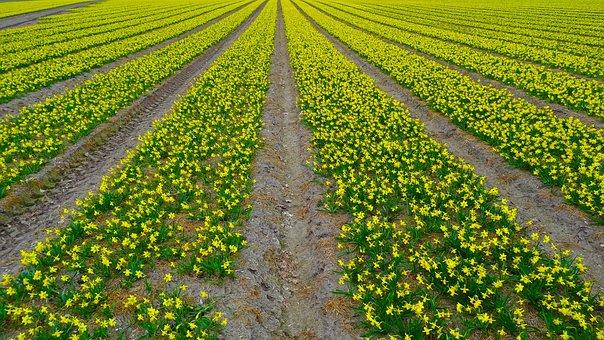 Daffodil Field, Daffodil, Narcissus, Field, Plantation