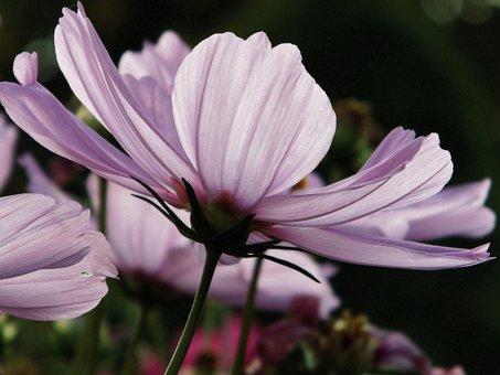 Kosmee, Blossom, Bloom, Pink, Cosmea, Cosmos