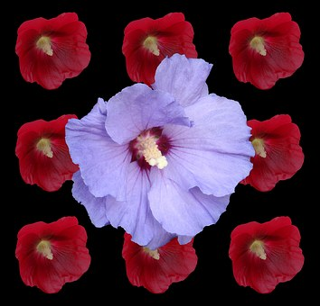 Hibiscus, Marshmallow, Mallow, Malvenartig, Red, Blue