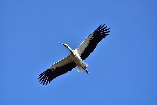 Stork, Sky, Fly, Black White, Bill, Rattle Stork