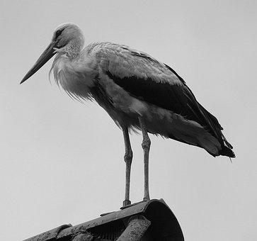 Storks, White Stork, Mountain Husen, Stork Village