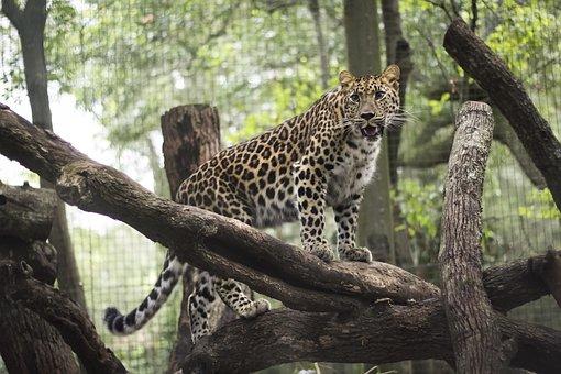 Leopard, Aza, Jacksonville, Zoo, Wild, Animal, Feline