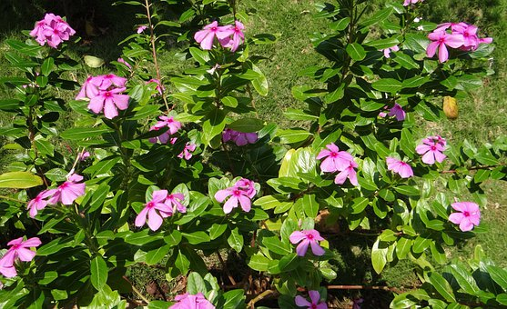 Catharanthus Roseus, Periwinkle, Flower