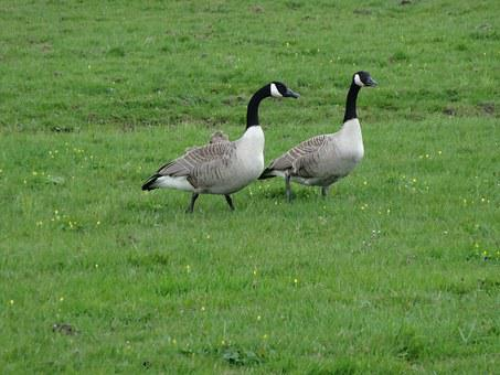 Goose, Geese, Meadow Bird, Bird, Nature, Animal, Fly