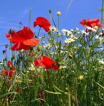 Papaver Rhoeas, Poppies, Camomile, Red, Poppy Flower