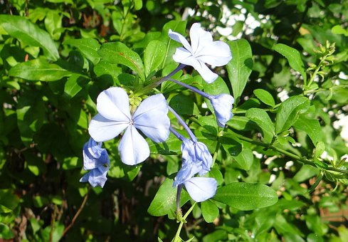 Plumbago, Cape Leadwort, Nila Chitrak, Flower, Blue
