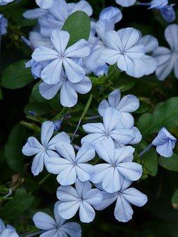 Flowers, Cape Europaea, Flower, Light Blue