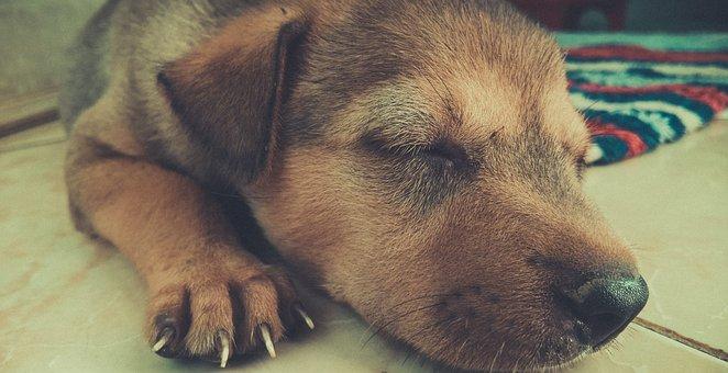 Adorable, Animal, Canine, Cute, Dog, Domestic