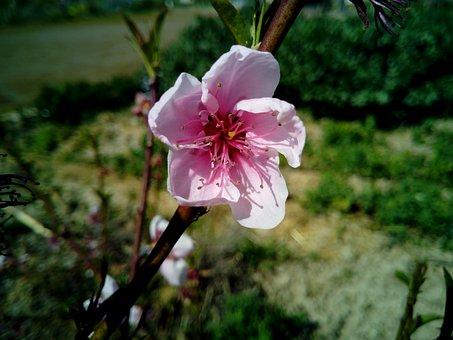Flower, Almond Tree, Spring, Tree, Almond Flower