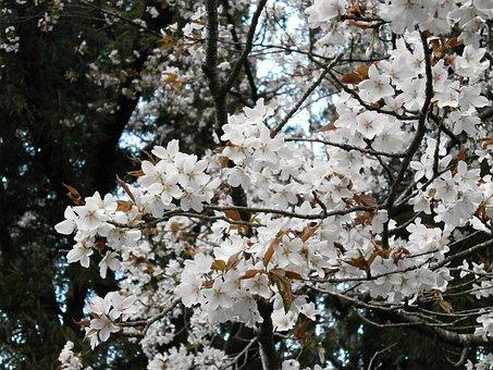 Cherry, Cherry Tree, Cherry Blossom, Cherry Blossoms