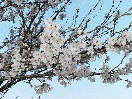 Cherry, Cherry Tree, Cherry Blossoms, Cherry Blossom