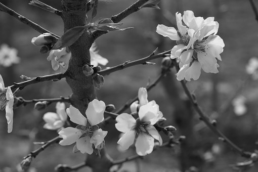 Flower, Almond Tree, Spring, Almond Tree Nature