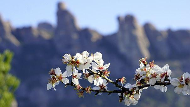 Flowers, Almond Tree, Spring, Flowering