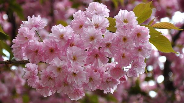 Japan Cherry, Spring, Flowering Tree