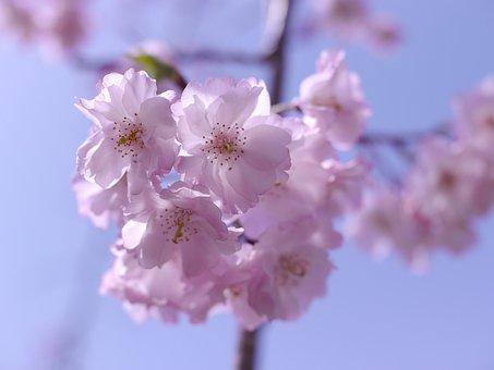 Pink, Cherry, Flowers, Japan Cherry Tree