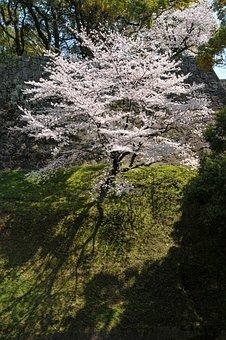 Cherry, Japan Flower, Flowers, Pink, Japan Cherry Tree