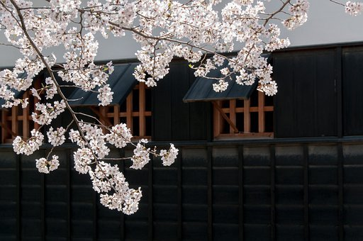 Cherry, Spring In Japan, Cherry Tree, Cherry Blossoms