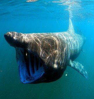 Sea, Ocean, Water, Underwater, Swimming, Basking Shark