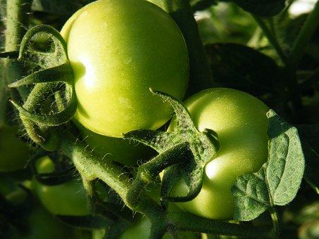 Tomato, Raw, Green Tomato, Vegetable, Fresh, Vegetarian