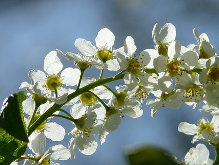 Common Bird Cherry, Flowers, Prunus Padus, Black Cherry