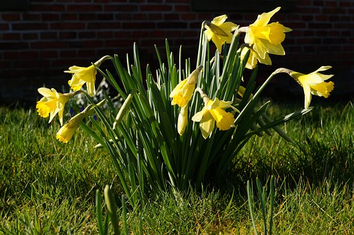 Daffodils, Osterglocken, Narcissus Pseudonarcissus
