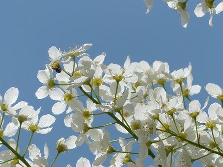 Common Bird Cherry, Flowers, Prunus Padus, Black Cherry