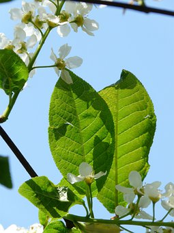 Common Bird Cherry, Flowers, Prunus Padus, Leaves