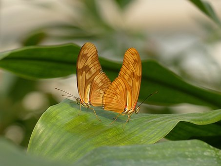 Butterflies, Julia Butterfly, Dryas Iulia, Orange