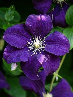 Clematis, Blossom, Bloom, Flower, Purple, Violet, Plant