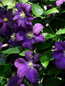 Clematis, Flowers, Purple, Violet, Plant, Entwine