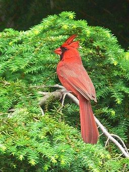 Painting, Artistic, Bird, Red Cardinal, Cardinal
