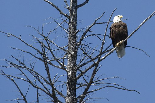 Bald Eagle, Dead Tree, Branches, Sitting, Bird