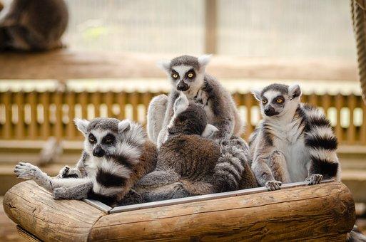 Animals, Furry, Lemur, Madagascar, Primate, Wildlife