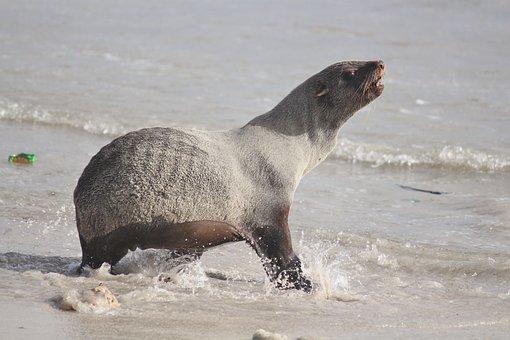 Seal, Sea, Beach, Water Creature, Ocean, Startled