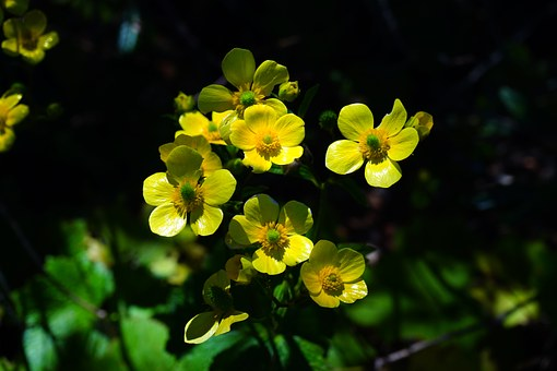 Buttercup, Flower, Blossom, Bloom, Yellow