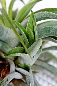 Tillandsia, Green, Plants, Leaves, Leafy, Greenery
